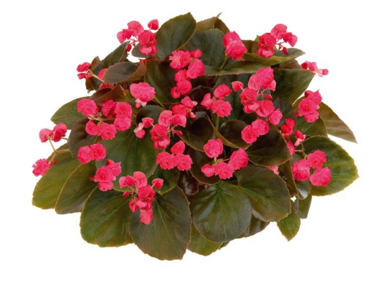 Stunning Red Begonia Flower For Your Garden