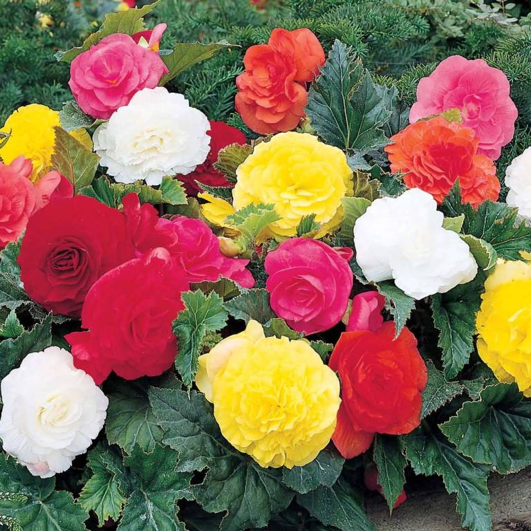 Stunning Red, Yellow And Pink Begonia Flower Plant Wallpaper