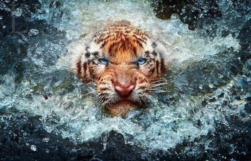 Terrifying Look Of Tiger Full HD Wallpaper