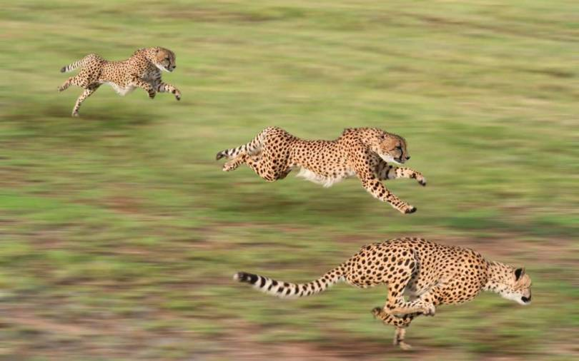 Top Speed Racing Leopards Full Hd Wallpaper