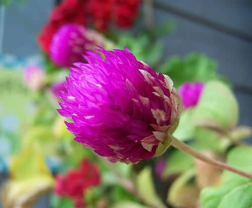 Truly Amazing Pink Flower Globe Amaranth On Plant Looks So Wonderful