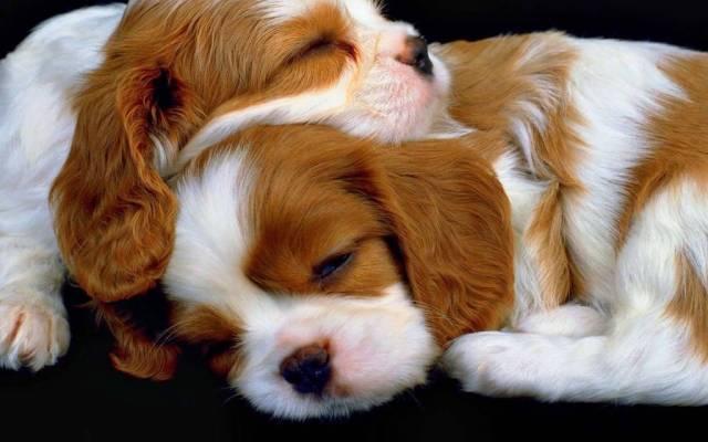 Two Cute Dogs Seems Asleep Hd