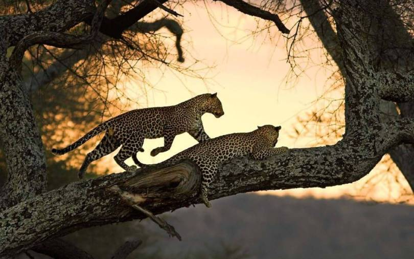 Two Of The Leopards Play On The Tree 4k Wallpaper