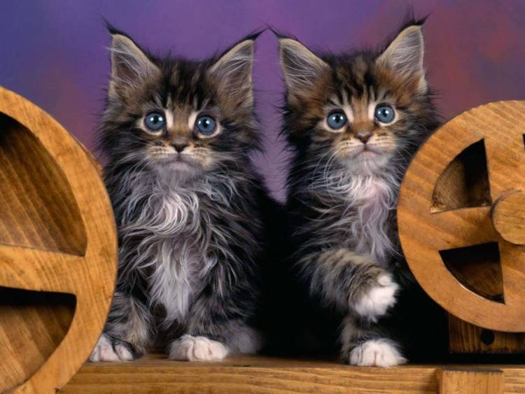 Two Young Cats Seems Twins Full Hd Wallpaper