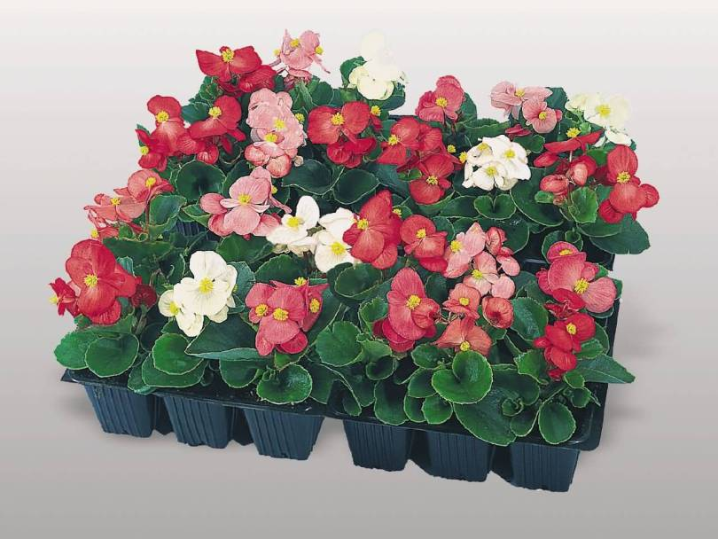 Unique Colorful Begonia Flower Plants For Home Decoration