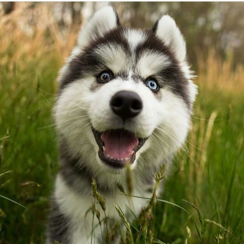 Very Active Black And White Husky Dog Smiling In Garden