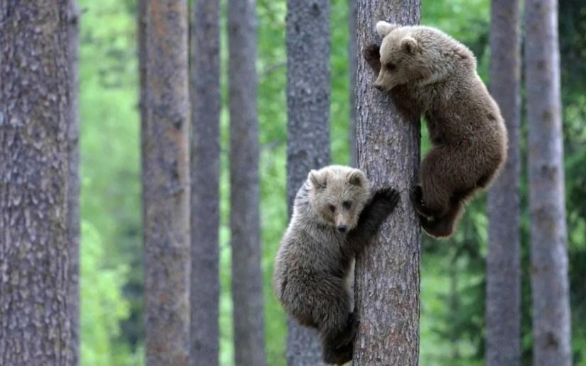 Very Funny  Bears Climb Trees Hd Wallpaper