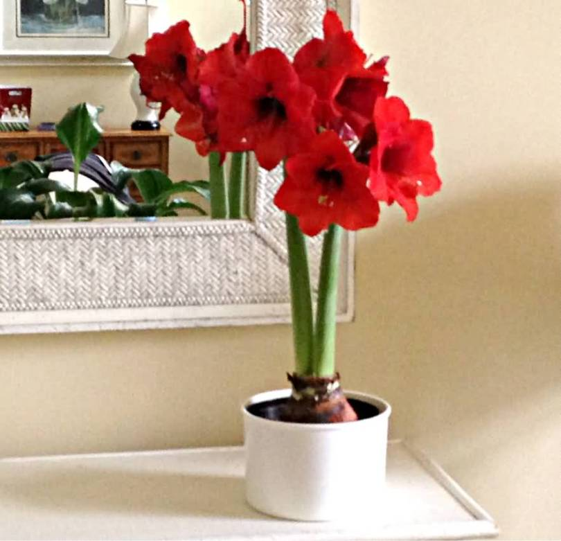 Very Lovely Amaryllis Flower In Home