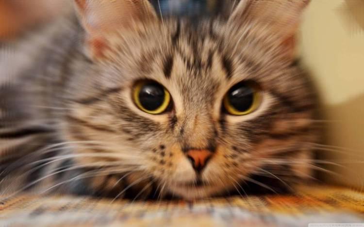 Very Nice Wallpaper Of A Wonderful Cat 4K Wallpaper