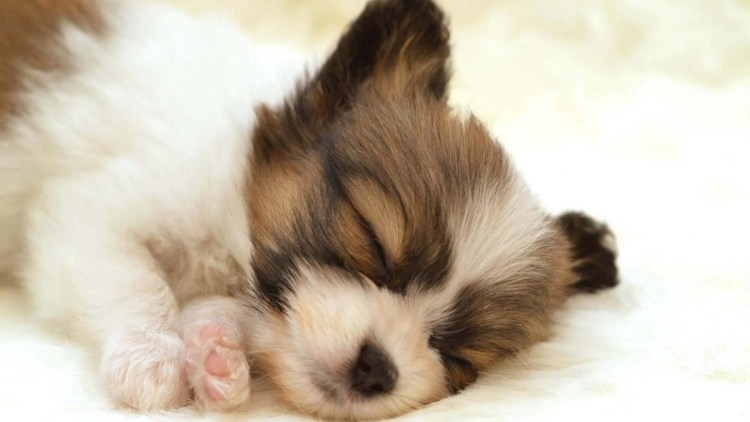 Very Small Nice Dog Seems Asleep Full Hd Wallpaper