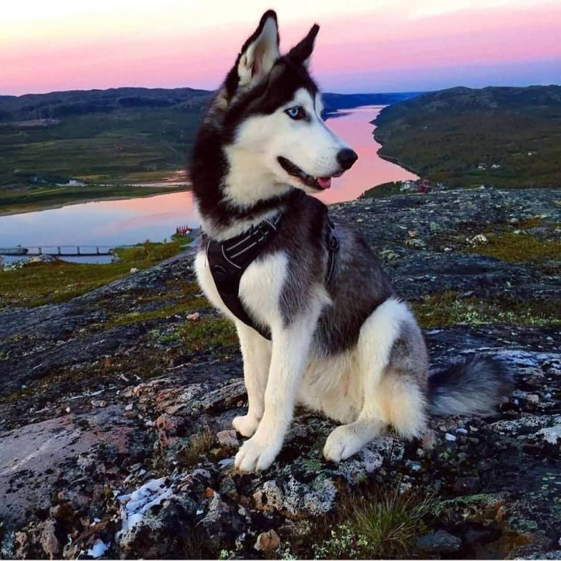 Wonderful Black And White Husky Dog Looks Awesome At Mountains