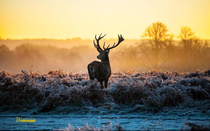 wonderful-deer-at-twilight-full-hd-wallpaper