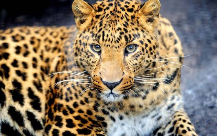 Wonderful Leopard Looking Great Leopard Images