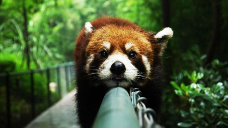 Wonderful Red Panda 4k Wallpaper