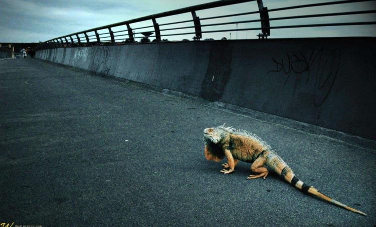 Amazing Iguana Over The Bridge Full Hd Wallpaper