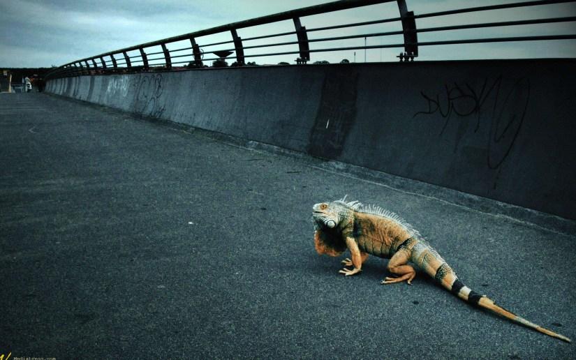 amazing-iguana-over-the-bridge-full-hd-wallpaper