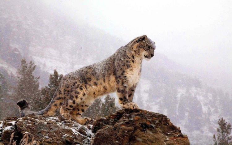 Amazing Leopard At The Top Wallpaper