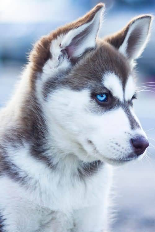 49 Siberian Husky Dog Pictures, Images & Wallpapers | PICSMINE