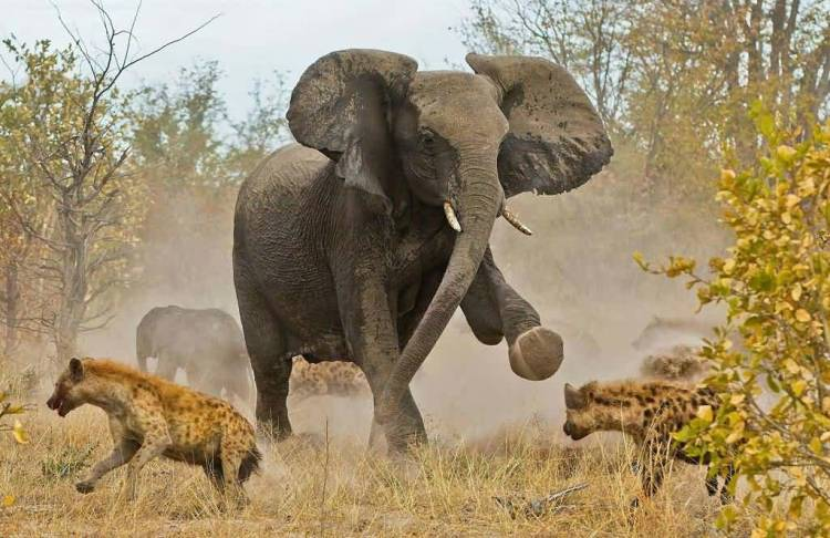 Amazing Elephants And Leopards In The Wild Full Hd Wallpaper