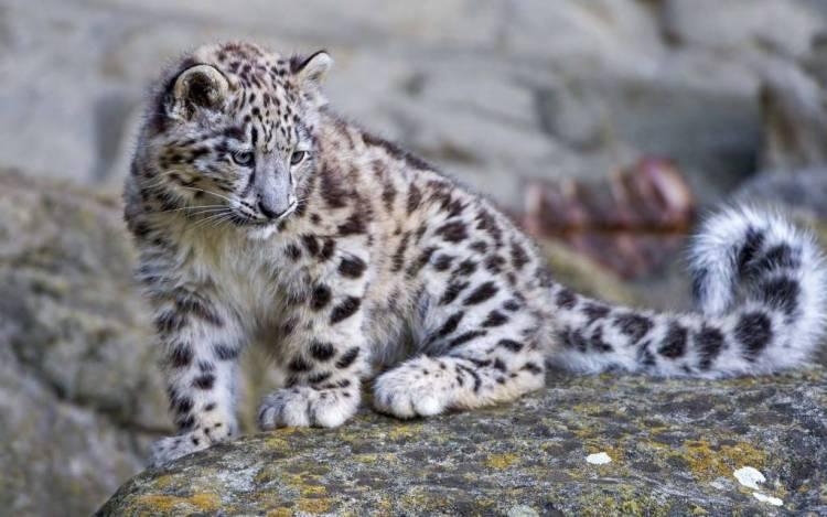 Awesome Little Snow Leopard 4k Wallpaper