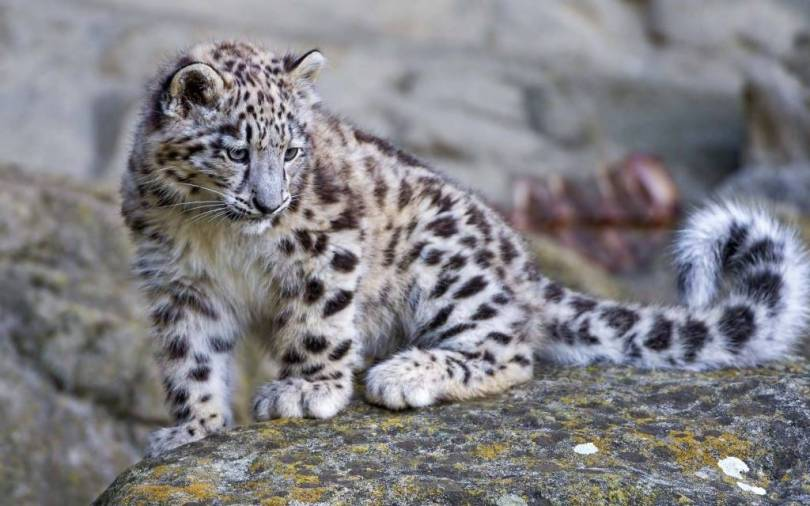 Awesome Little Snow Leopard 4k Wallpaper
