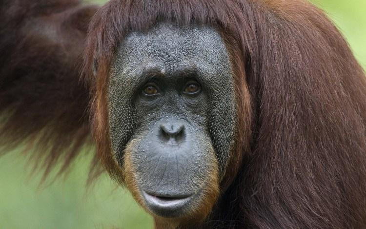 awesome-monkey-seems-sad-look-at-us-4k-wallpaper