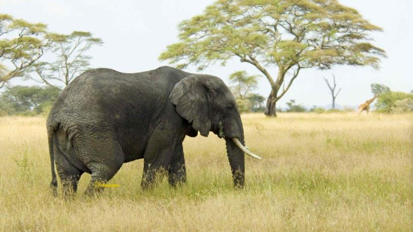 Beautiful Elephant And Giraffe In The Wild Full Hd Wallpaper