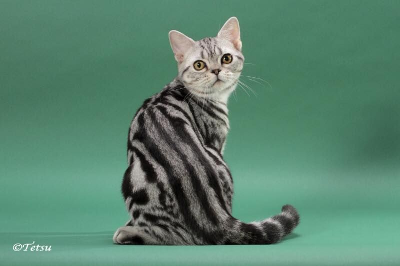 beautifull Skin Color Of American Shorthair Cat with long tail