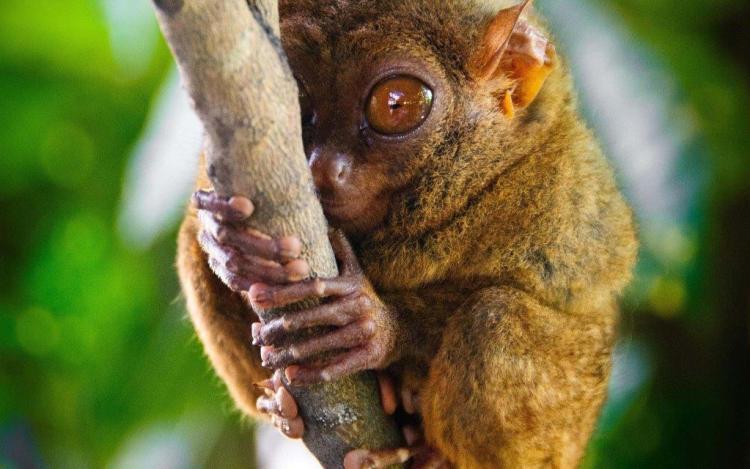 Cute With Tree Tarsier Full Hd Animal Wallpaper