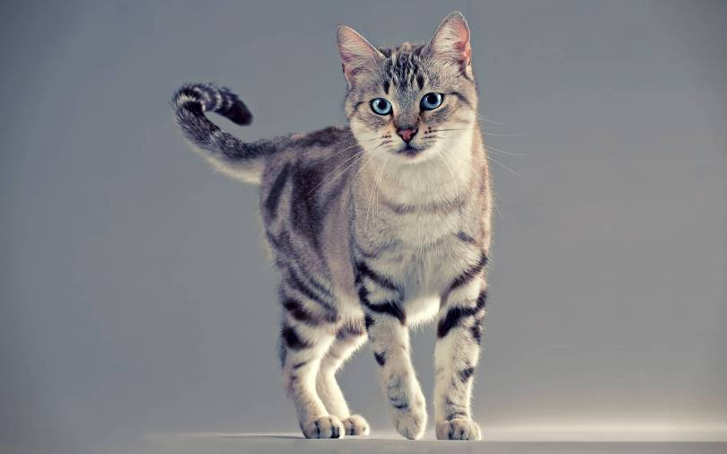 lovely American Shorthair Cat With nice Eyes American Shorthair