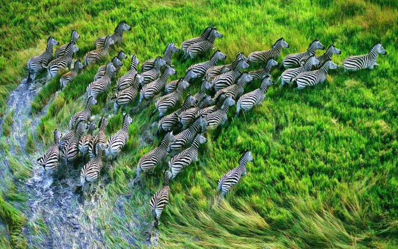 stunning-big-swarm-of-zebras-4k-wallpaper