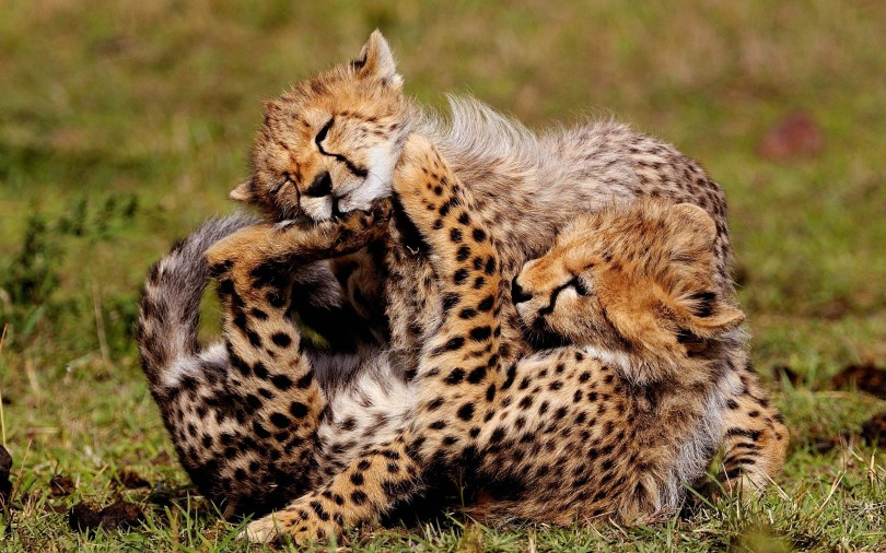 stunning-happiness-between-leopards-4k-wallpaper