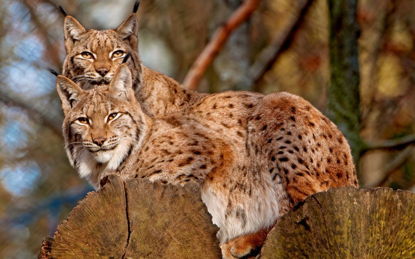 stunning-two-powerful-leopards-full-hd-wallpaper