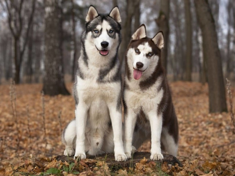Two Best Friend Siberian Husky Dogs Watching For Other