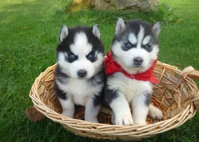 Two Cutest Siberian Husky Dog Puppies For Sale