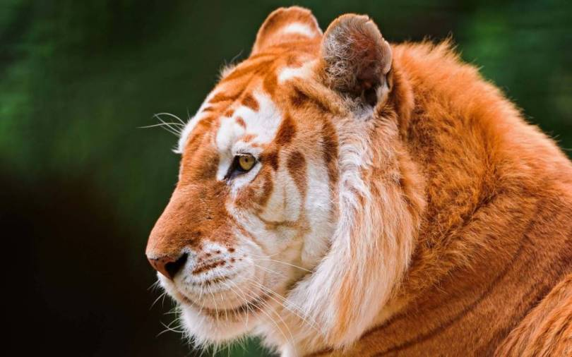 very Beautiful And Strong Tiger 4K wallpaper