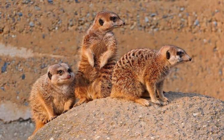 Very Cute Three Mongoose Animals 4k Wallpaper