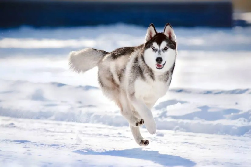 Very Fast Siberian Husky Dog Running In Snow For Food