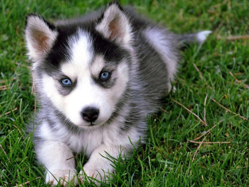 Wonderful Blue Eyes Siberian Husky Puppies Sitting In The Grass