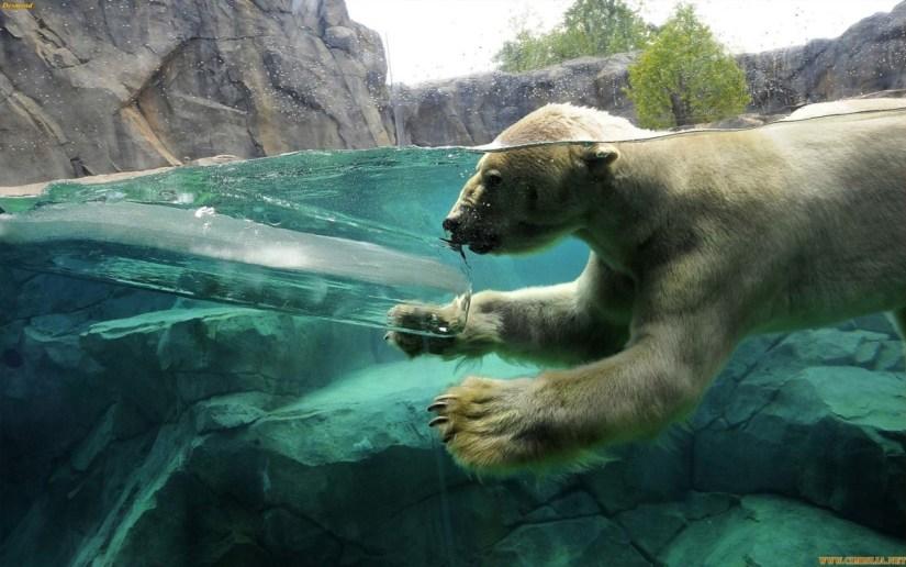 Wonderful Polar Bear Playing In The Water Full Hd Wallpaper