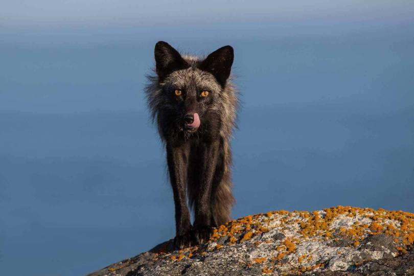 Amazing Wallpaper Of Black Maned Wolf With Brown Eyes