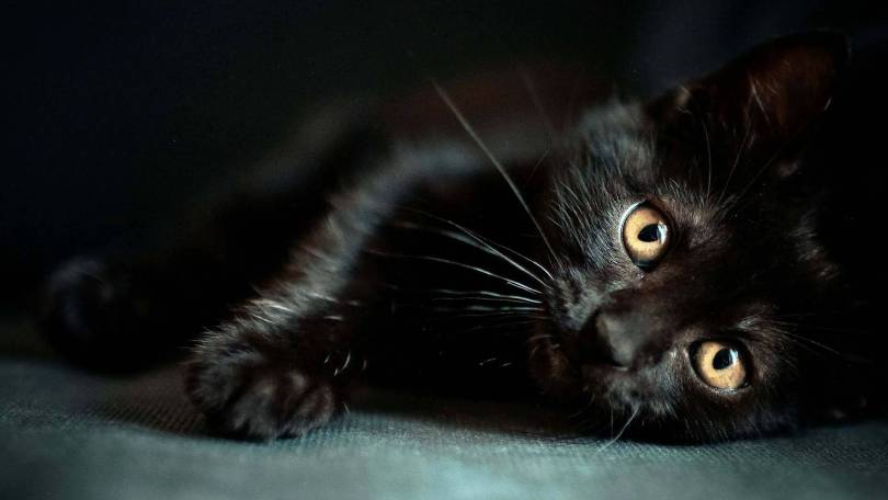 Beautiful Black Cat Looks Nice Full HD Wallpaper