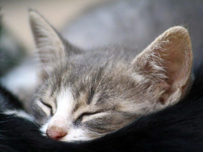 Cutest Cat Seems Asleep 4K Wallpaper