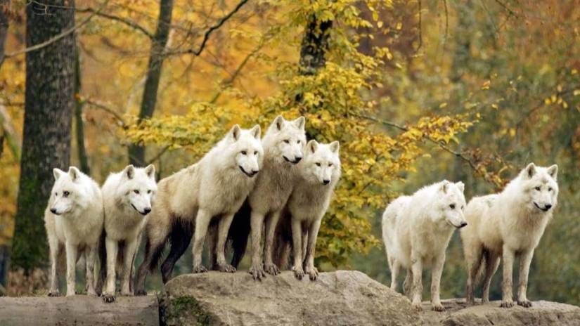 Inspirational Seven Of White Wolves 4K Wallpaper