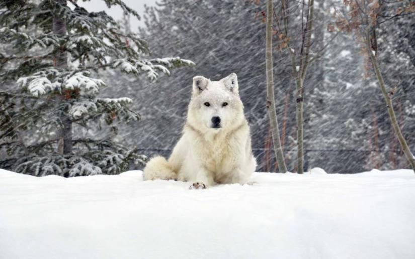 Most Fabulous Great White Wolf On Heavy Snow Full HD Wallpaper