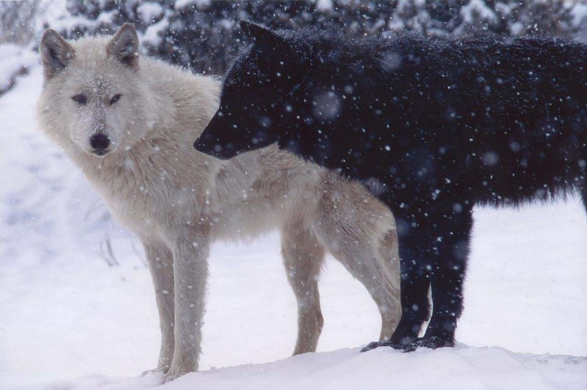 Most Wonderful Black Wolf And Other White Full HD Wallpaper