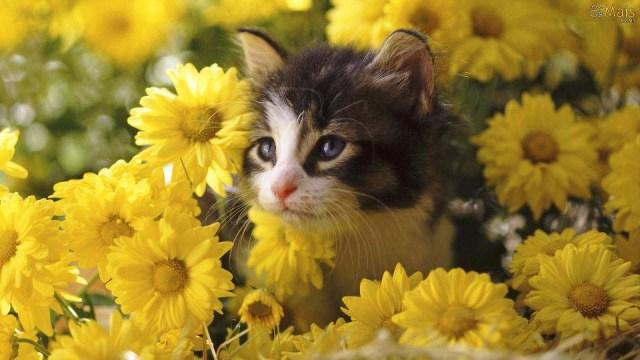 Very Beautiful Cat Between The Yellow Flowers 4K Wallpaper