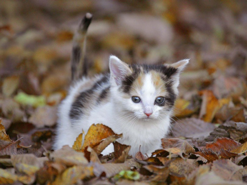 Very Nice Little Cat With Many Of Autumn Leaves Full HD Wallpaper