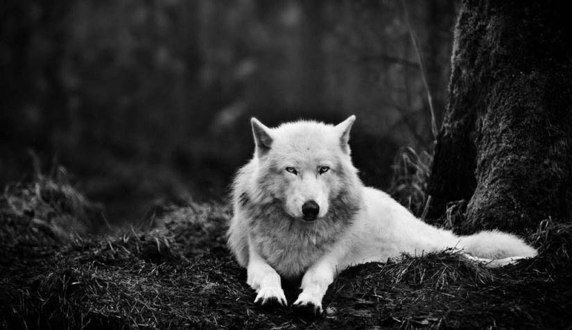 Wonderful White Wolf Full Hd Wallpaper