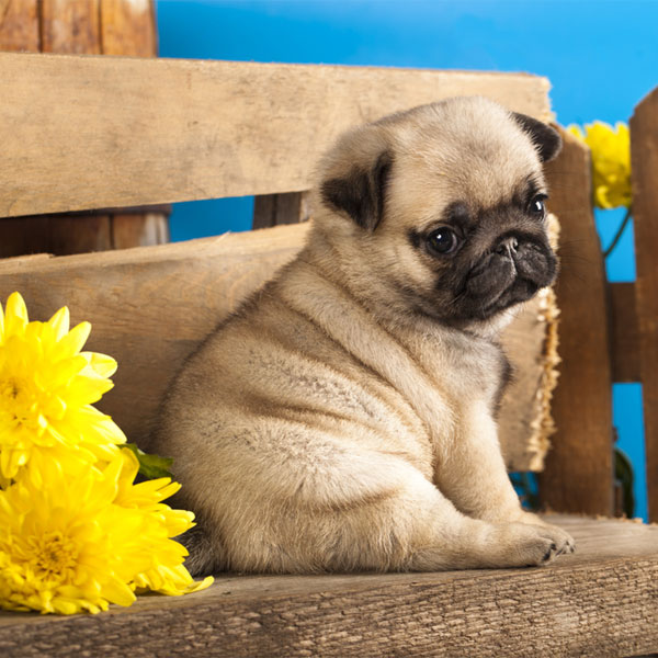 Adorable Baby Pug Dog With Beautiful Background